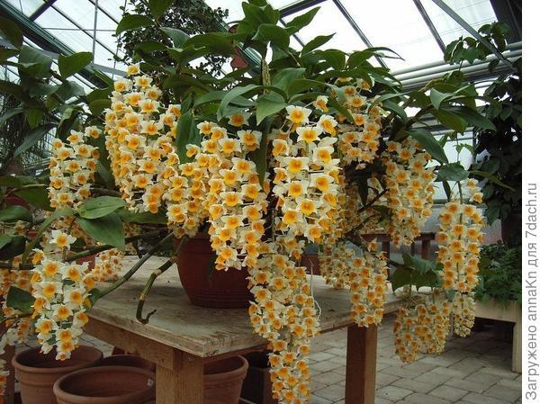 Орхидея денлробиум
