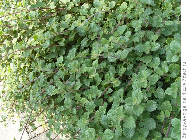 Что это за ампельное растение?