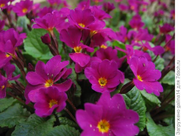 Цветение примулы всегда связано с приходом весны