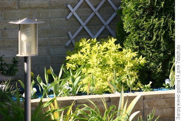 Высокая клумба со спиреей японской, туей, тюльпанами