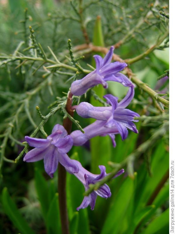 Цветут душистые гиацинты