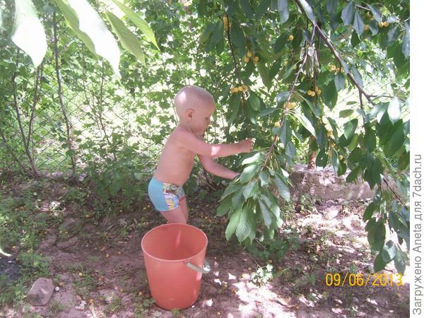 собираю урожай