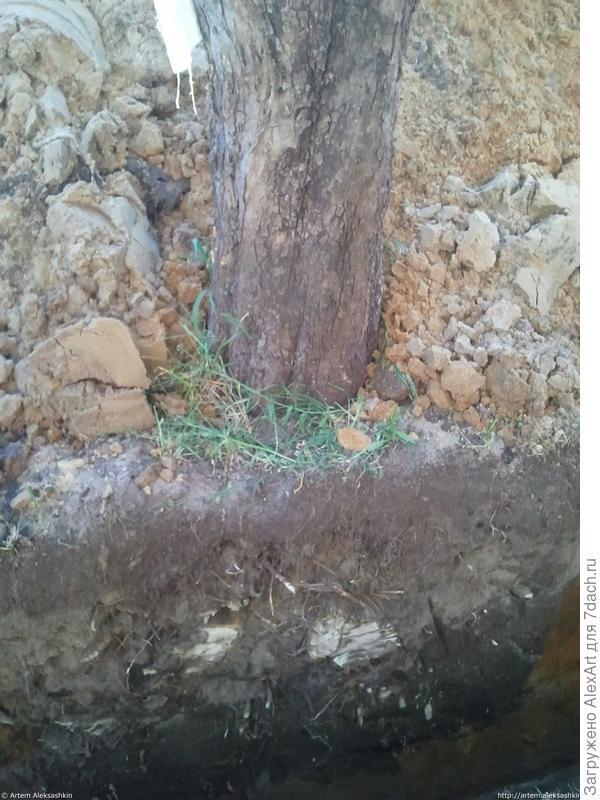 Подрубленные корни деревьев
