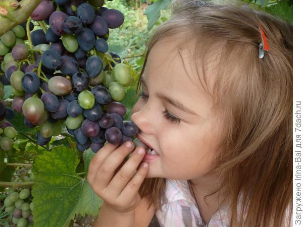 не успела поспеть виноградинка