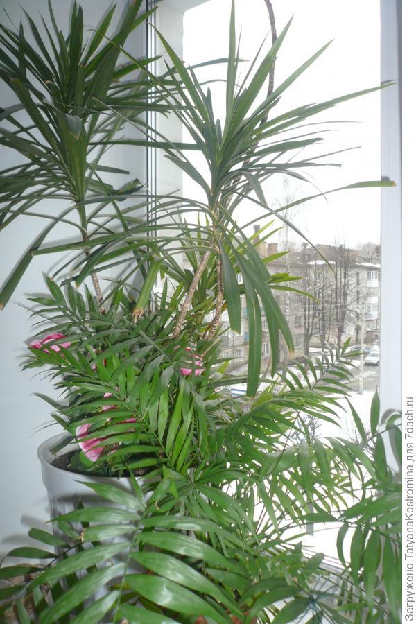 Драцена окаймленная (Dracaena Marginata) или маргината