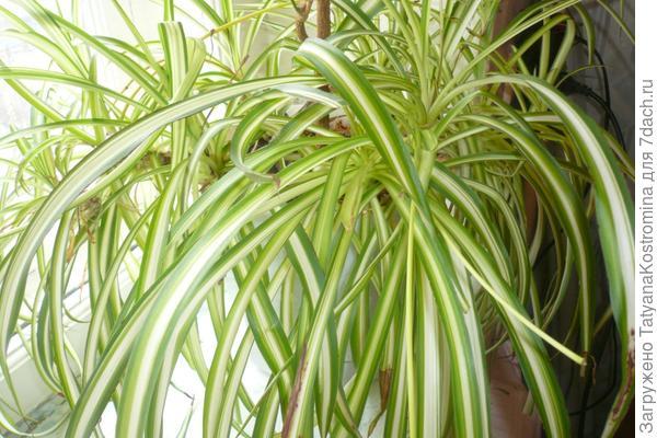 Хлорофитум – Chlorophytum