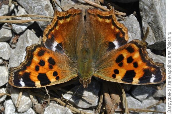 бабочка Лизы