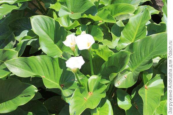 Белокрыльник или калла болотная