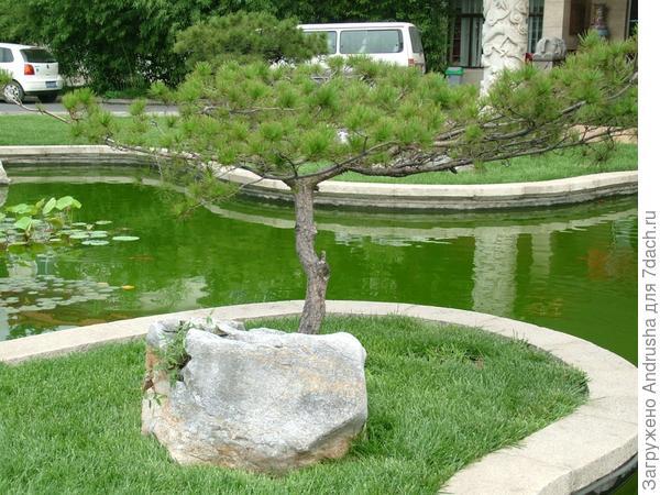 Фрагмент маленького газона с сосной на камне