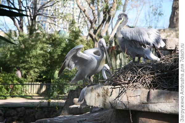 Гнездо пеликанов.