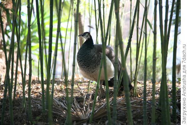 Павлин в зарослях бамбука