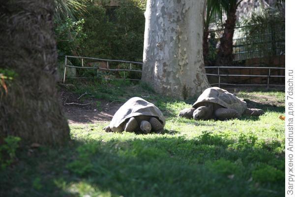 Гигантские черепахи на газоне