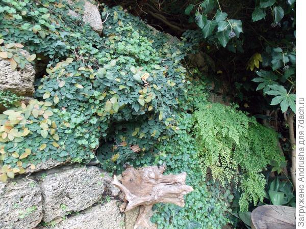 Стена с фикусом ползучим или карликовым и папоротником венерин волос
