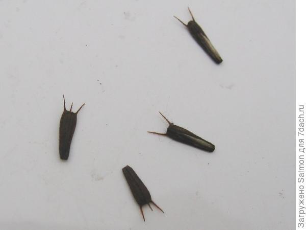 Семена череды трехраздельной