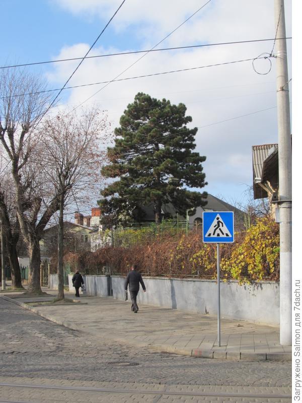 Главное дерево улицы