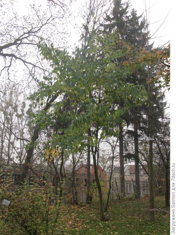Эвкомия вязолистная в осеннем парке
