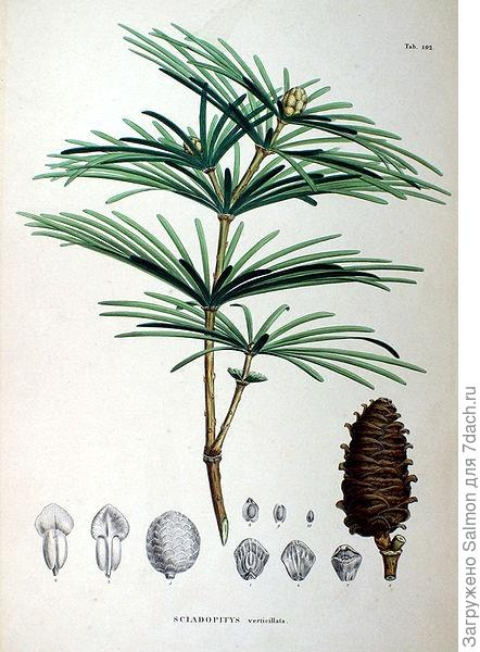 Сциадопитис мутовчатый