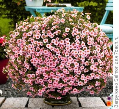 Калибрахоа,  розовый сорт