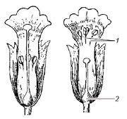 гетеростилия певоцвета