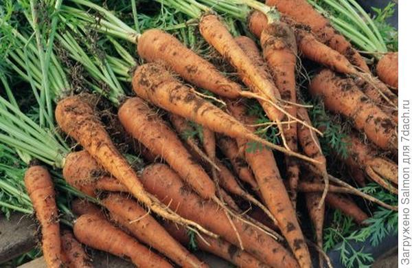 "Морковь F1 ""Лидия"""