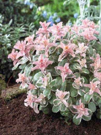 Sedum Pinky (x). Фото с сайта www.jardinsdemmarocalles.com
