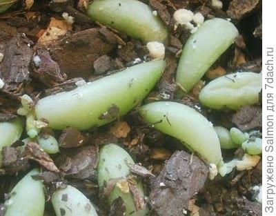 Укоренённые листки седума Моргана. Фото из блога 2.bp.blogspot.com