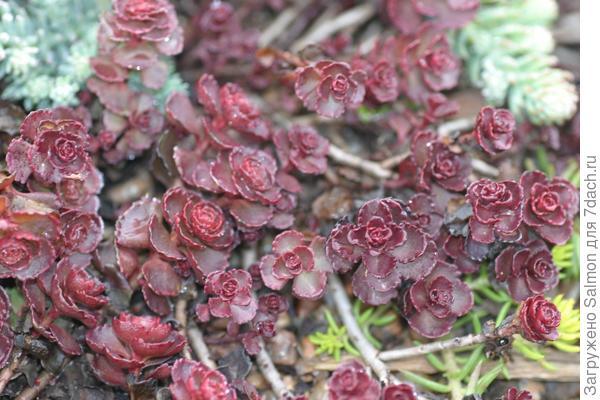 Sedum spurium `Voodoo`. Фото с сайта powellgardens.wordpress.com