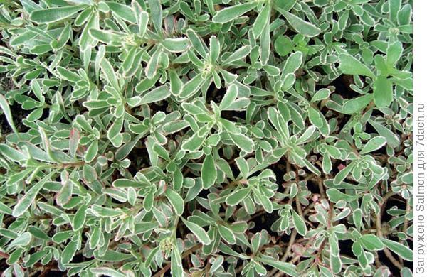 Sedum spurium Variegatum. Фото с сайта www.accbud.ua