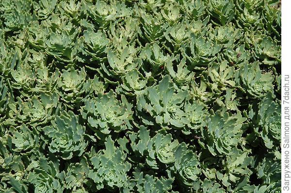Sedum Thundercloud. Фото с сайта plants.barnnurserylandscape.com