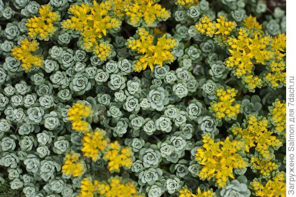 Sedum spathulifolium  Cape Blanco. Фото с сайта photoshelter.com