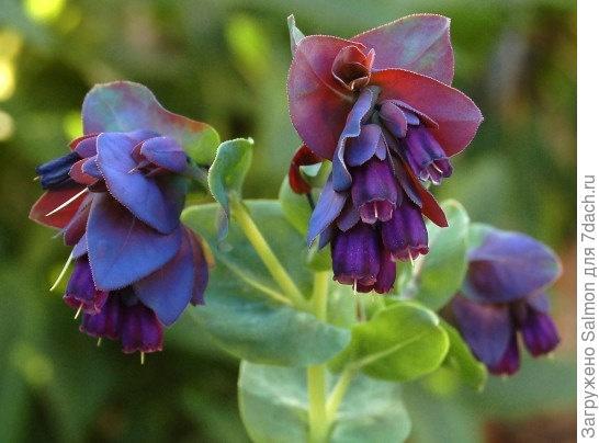 Cerinthe major var.purpurascens