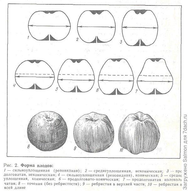 форма плода