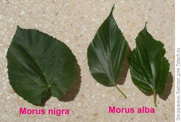 Листья белой и черной шелковиц