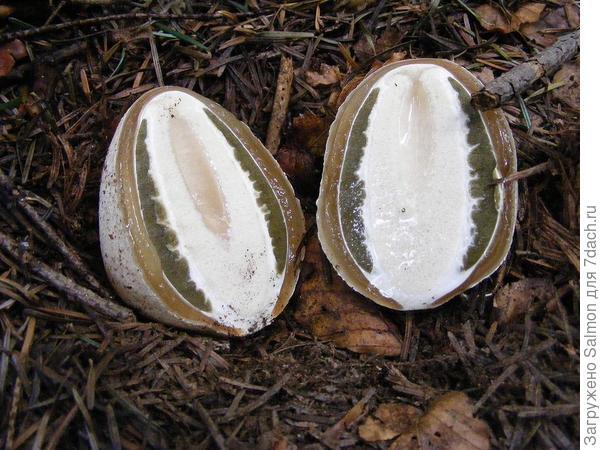 'Яйца' веселки обыкновенной в разрезе