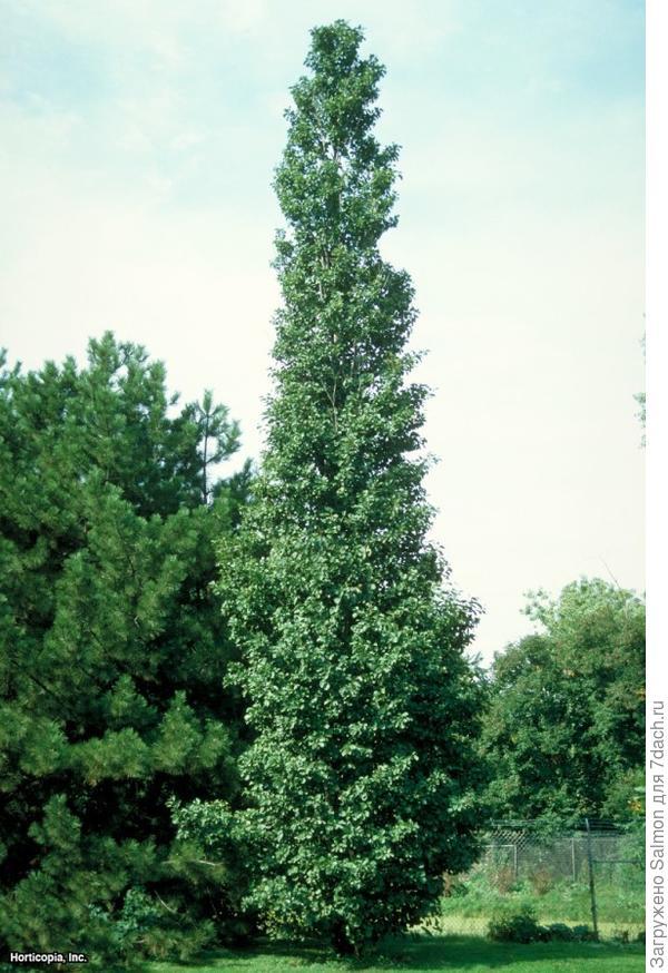 Alnus glutinosa Pyramidalis. Фото с сайта hgtvgardens.com