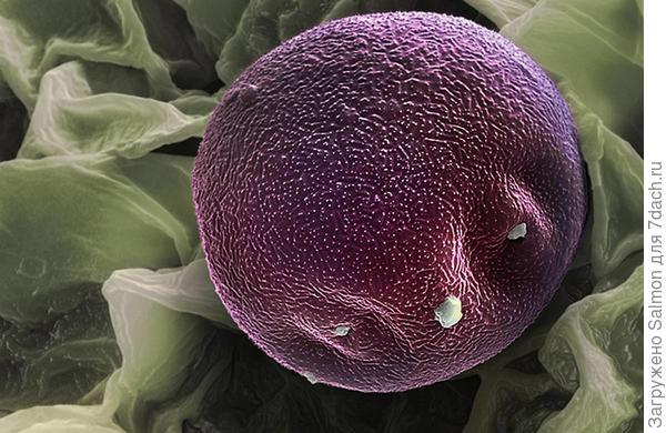 Пыльца ольхи, фото Мартина Огерли (Martin Oeggerli)