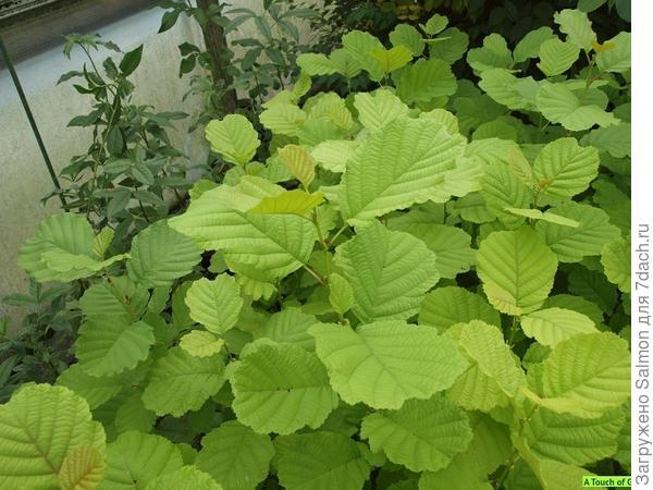Alnus glutinosa Aurea. Фото с сайта www.atouchofgreen-gardenwebshop.nl