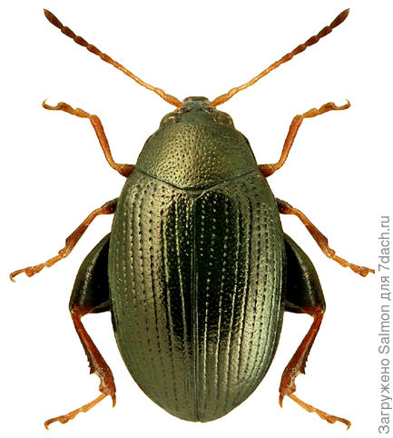 Chaetocnema breviuscula