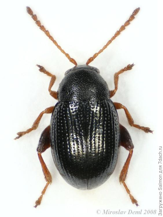Batophila rubi