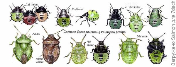 Нимфа щитника зелёного