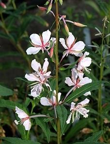 Сорт иван-чая 'Stahl rose'