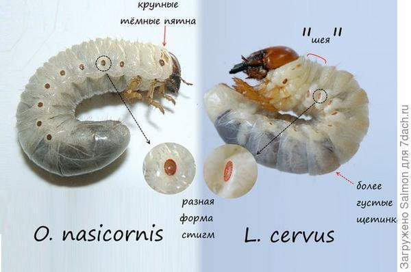 Сравнение жуков