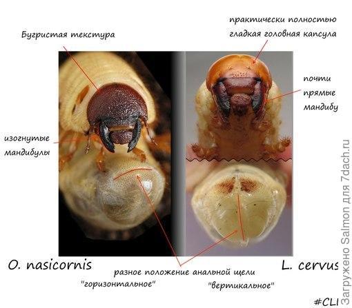 Сравнение жука-носорога и жука-оленя