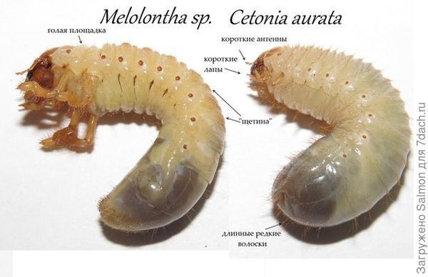 Сравнение майского жука и бронзовки