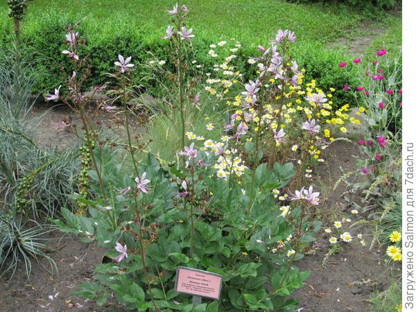 Ясенец в ботаническом саду