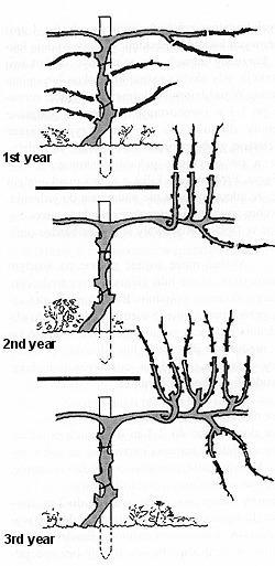 Схема обрезки актинидии на шпалере