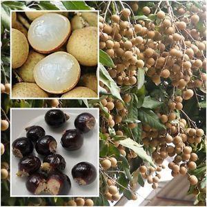 Лонган: плоды, семена, ветки с плодами