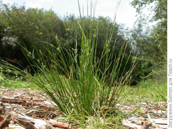 Ситник тонкий. Фото с сайта phytoimages.siu.edu
