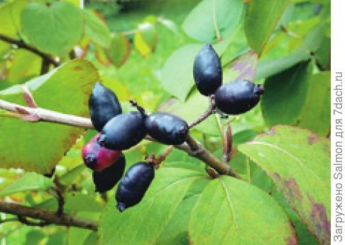 Плоды калины-гордовины