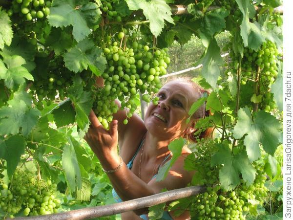 Бабулин виноград радует нас каждый год
